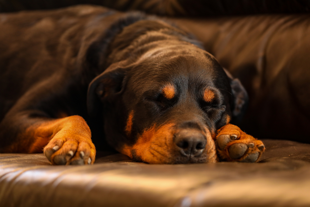 Are Rottweilers Lazy