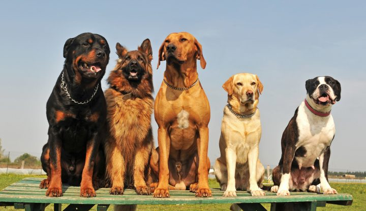 Best Companion Dogs For A Rottweiler