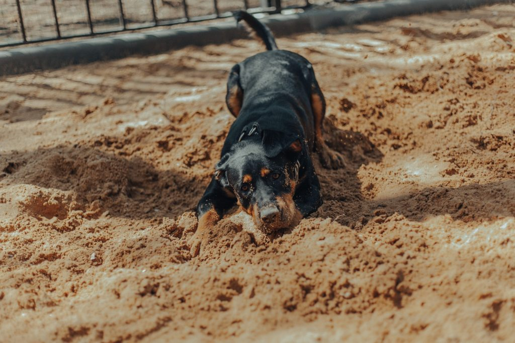 Why Do Rottweilers Dig Holes