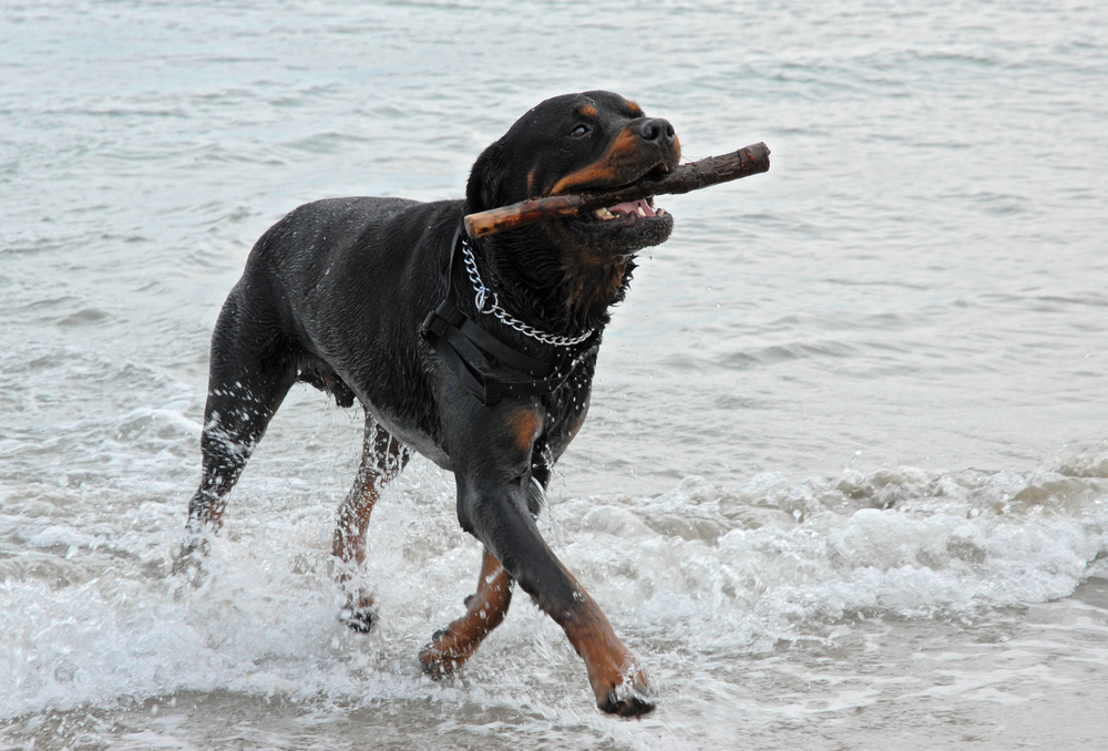 best games for Rottweilers