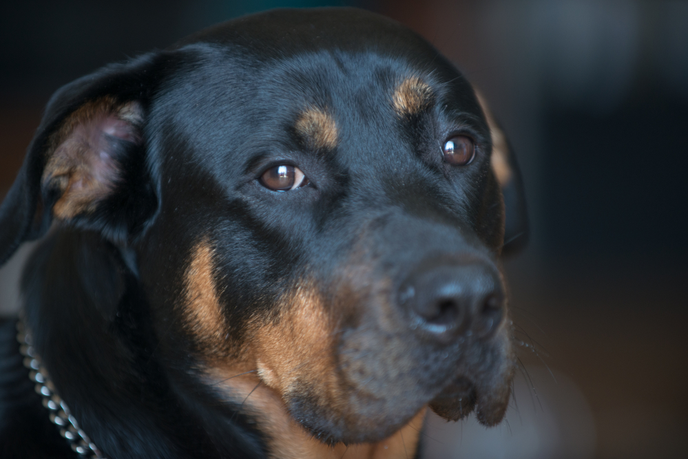 Do Rottweilers Do Well In Apartments?