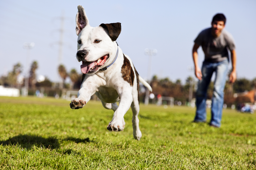 How much exercise does a Pitbull need