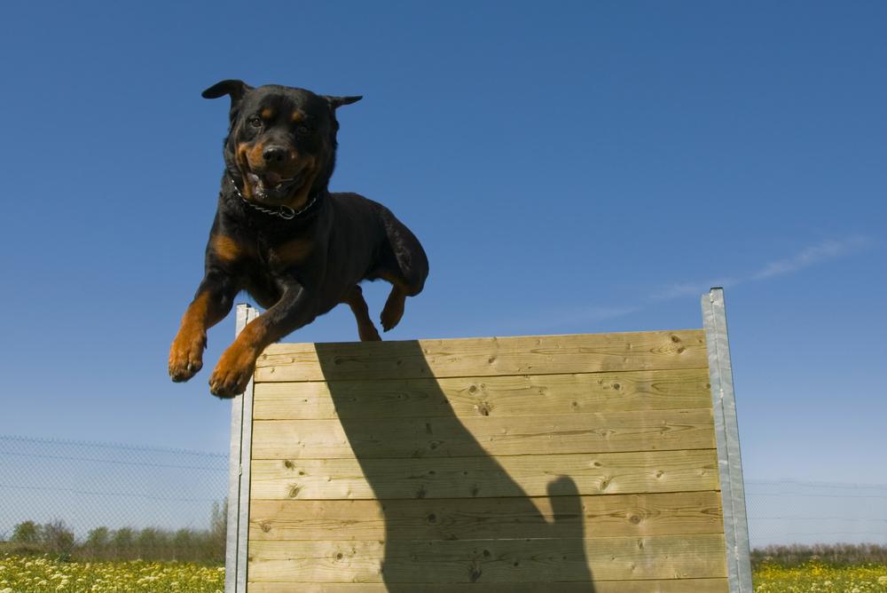 Can A Rottweiler Jump A Fence?