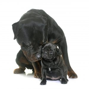 do rottweilers and pugs get along