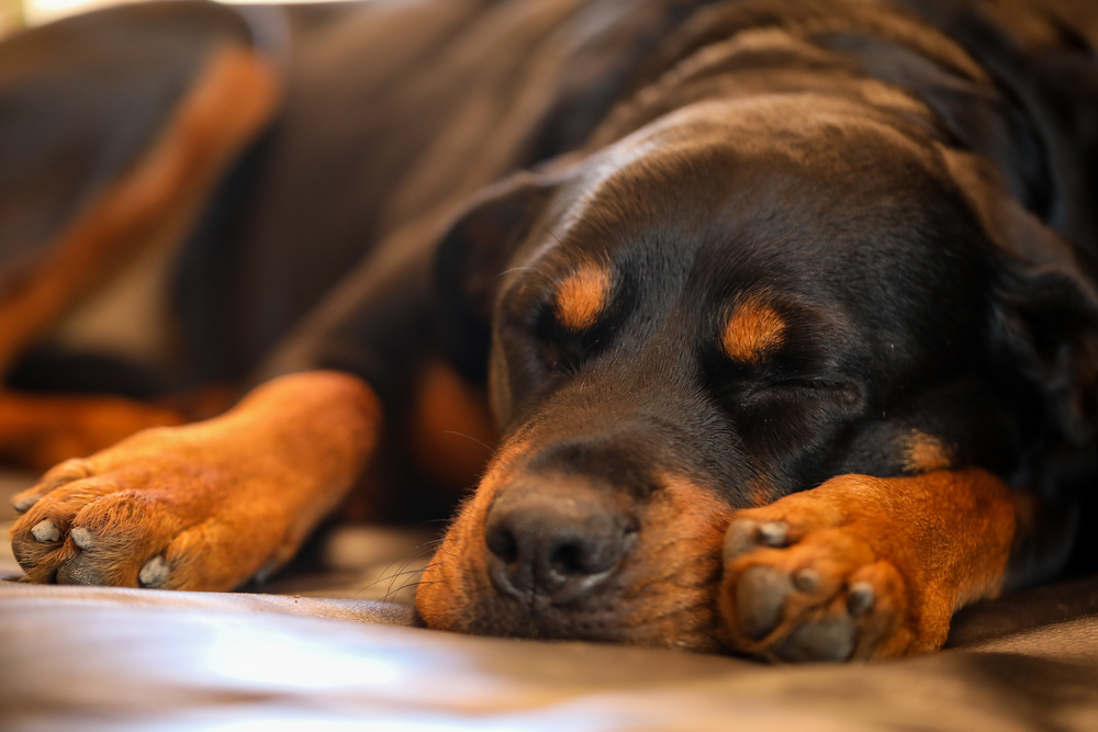 do Rottweilers do well alone