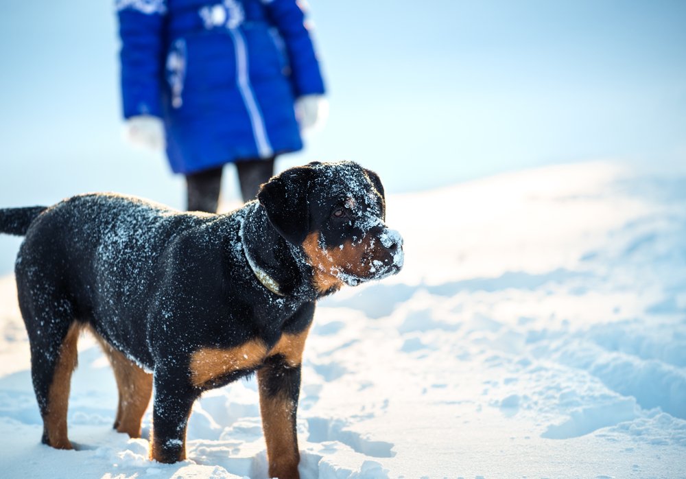 Rottweiler enjoying some time in the snow