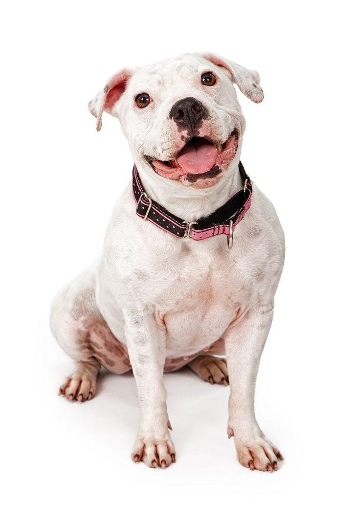 best collar for pitbull