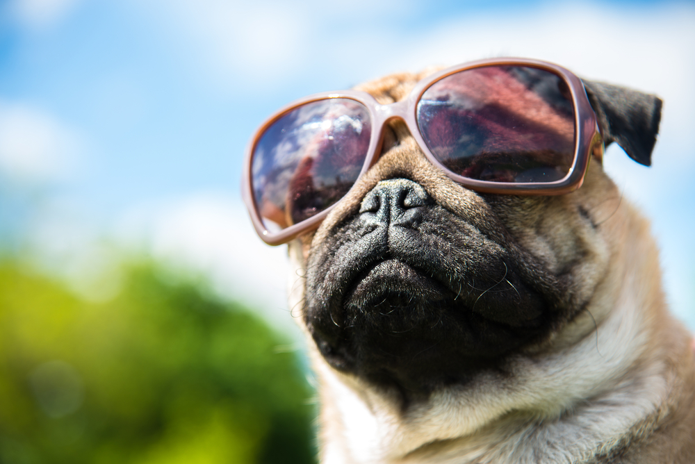 pug enjoying a hot day with his pit bull friend