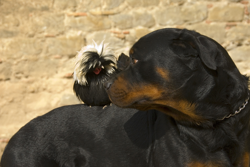 do rottweilers make good farm dogs