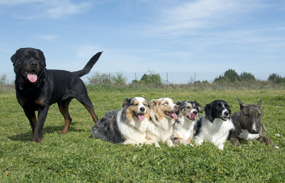do rottweilers and border collies get along