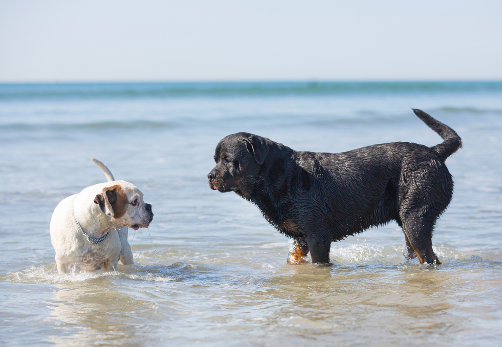 rottweiler and boxer playing on the beach