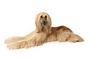Afghan hound resting after running up to 40 mph