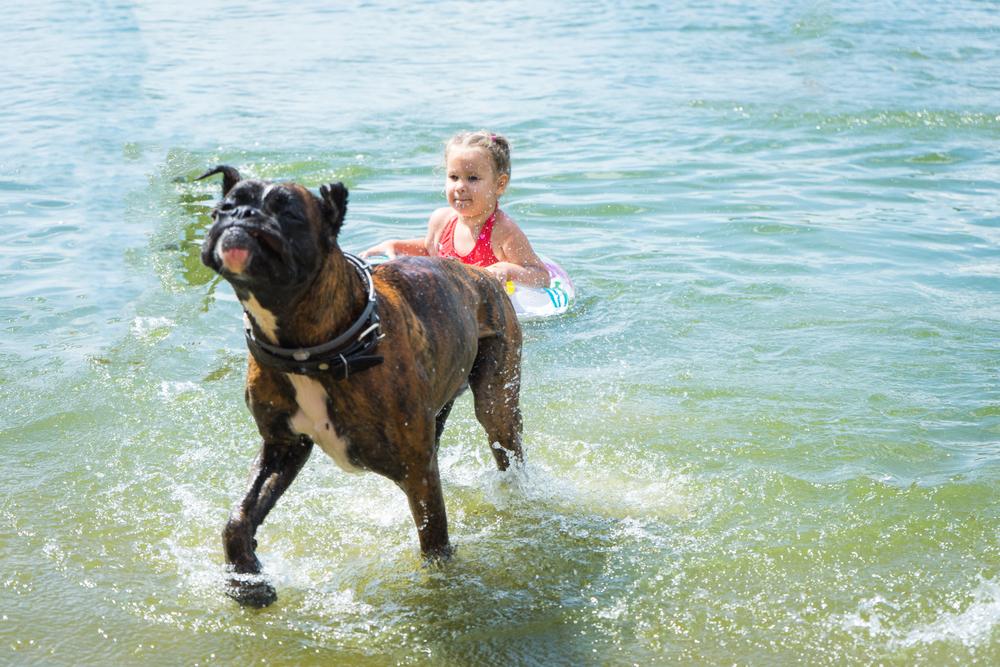 boxer swimming and having fun in water