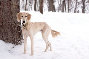 saluki dog quickly running in snow