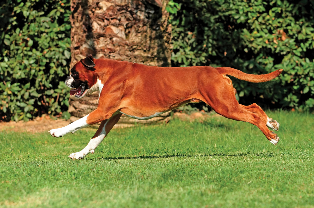 boxer doing a canine agility course