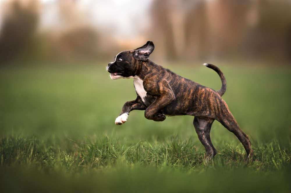 boxer getting ready to jump a fence