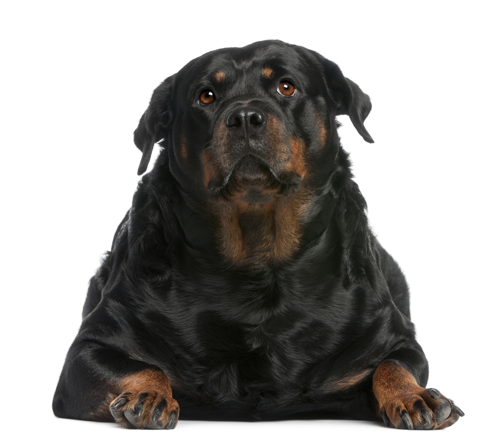 Best Dog Foods for Overweight Rottweilers