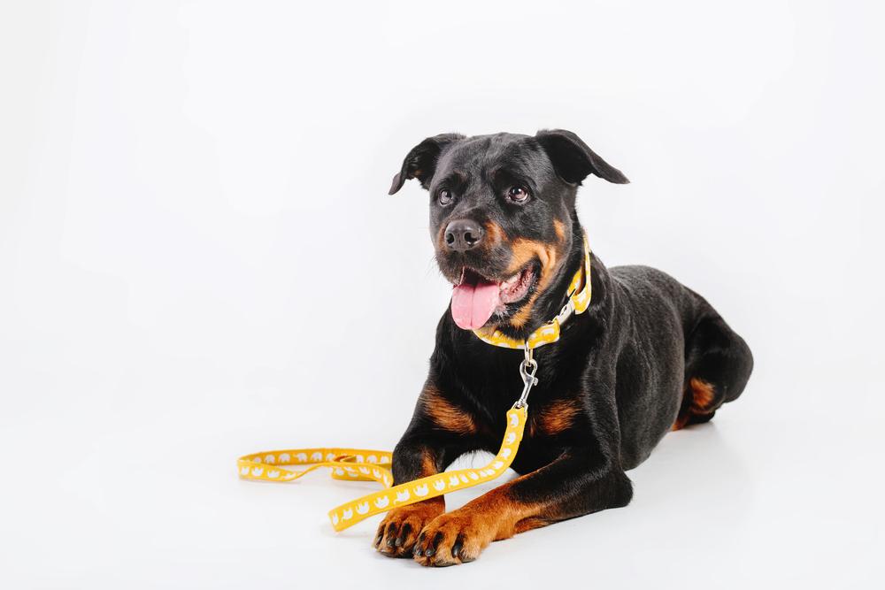 Best Leash for Rottweiler