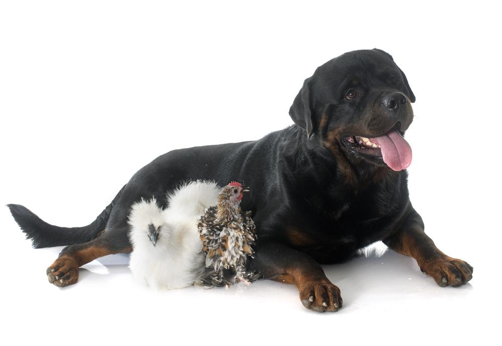 Best Rottweiler Dog Food Without Chicken