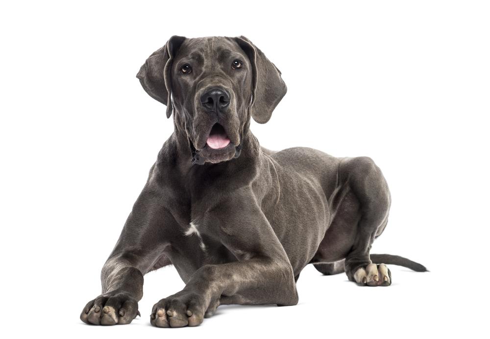 Do Great Danes Make Good Guard Dogs