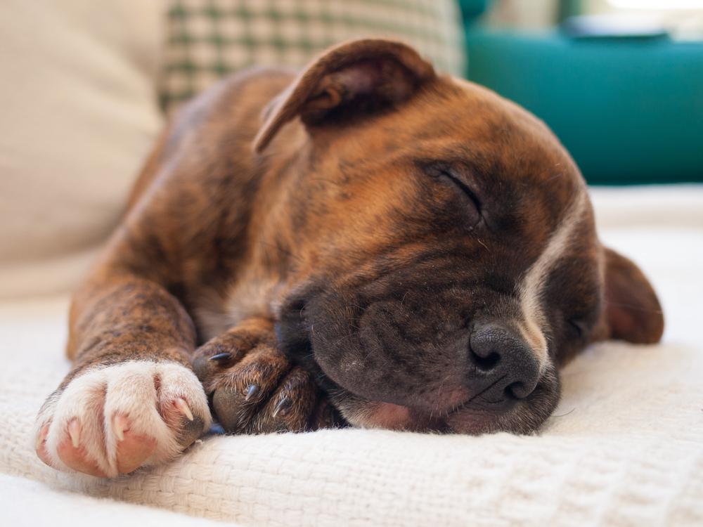 How Much Do Pitbulls Sleep