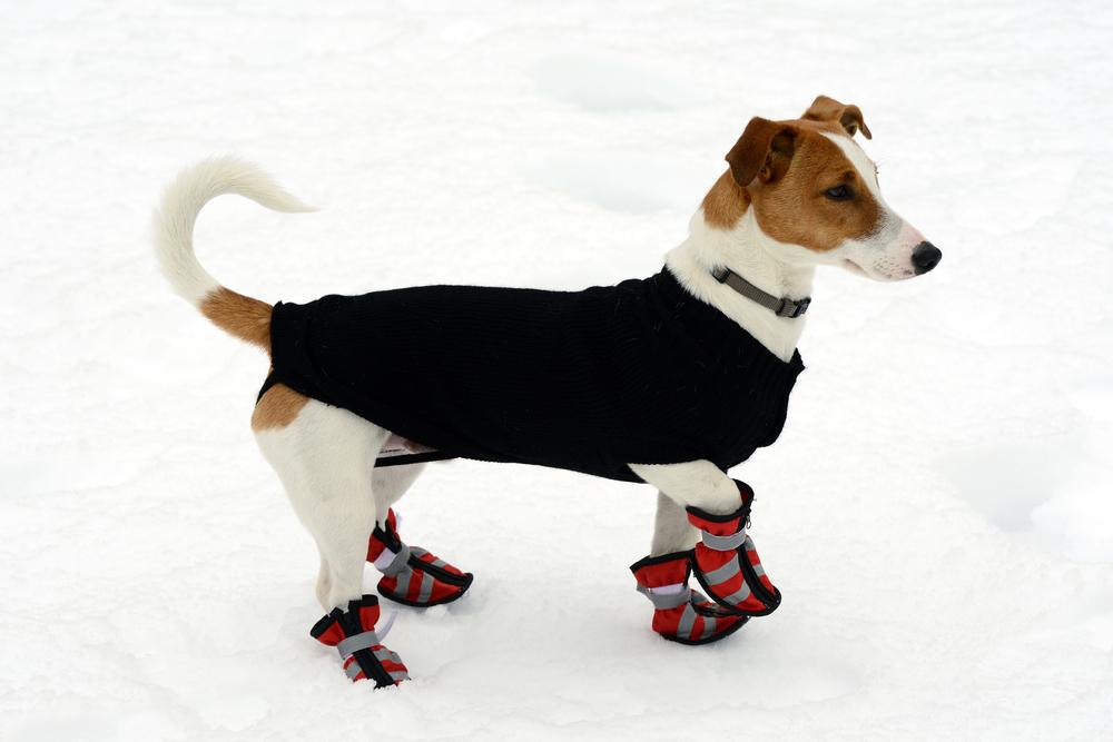 cute dog walking weird wearing shoes