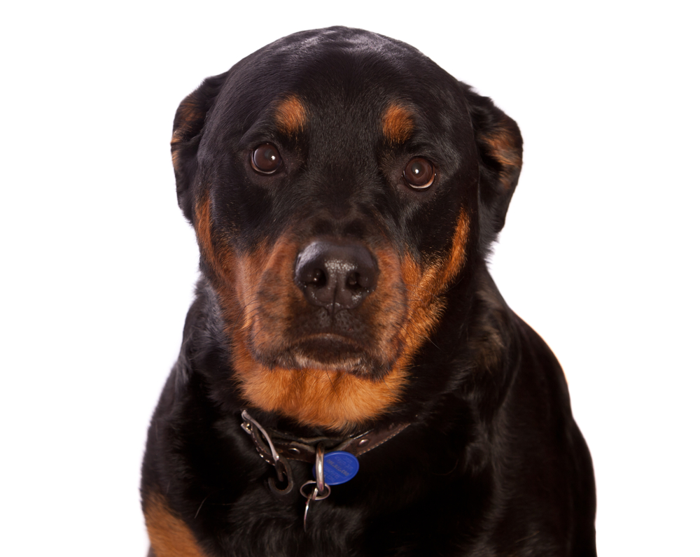 Why Do Rottweilers Cry