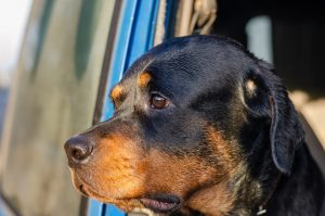 example of a sad rottweiler