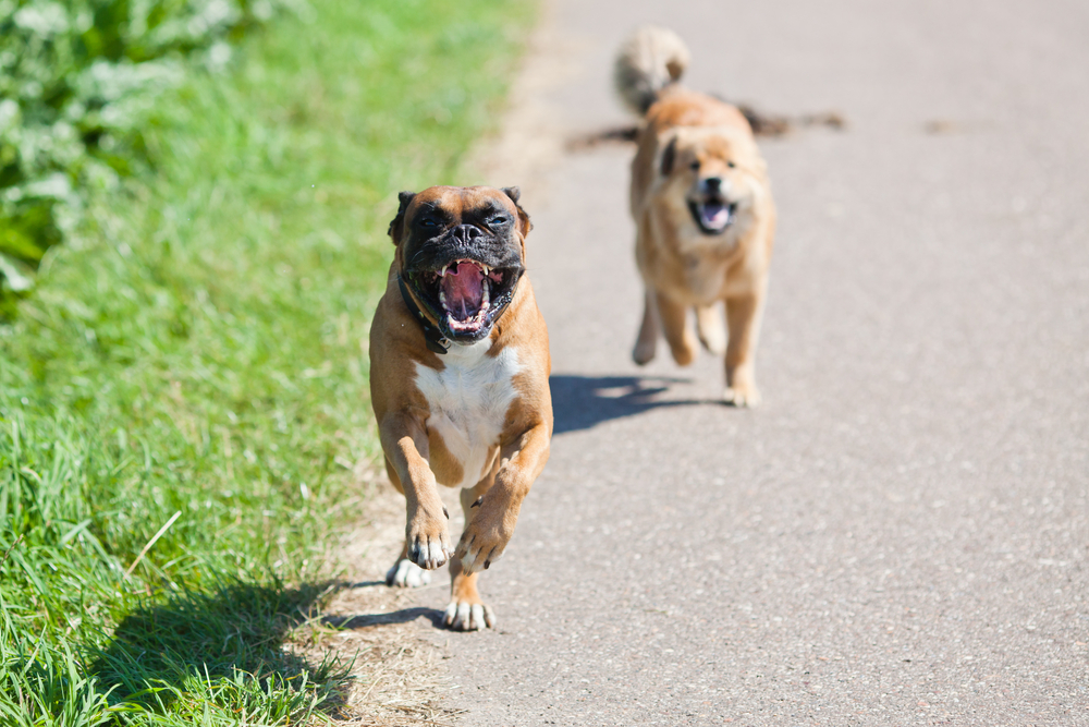 are boxers good running dogs