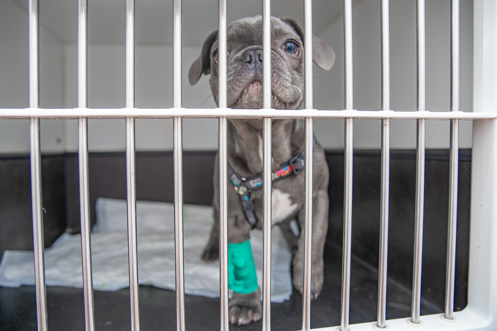 dog undergoing crate rest after surgery looking for toys