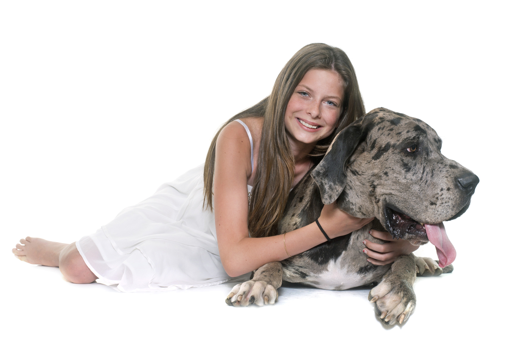 great dane showing affection to owner