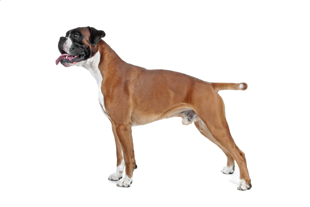 Why Are Boxers' Tails Docked
