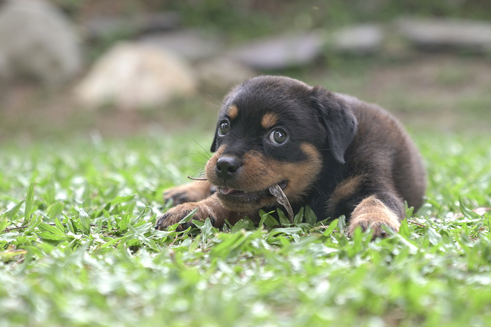rottweiler chewing on items