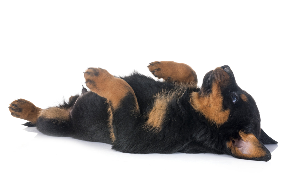 young Rottweiler happily laying on their back