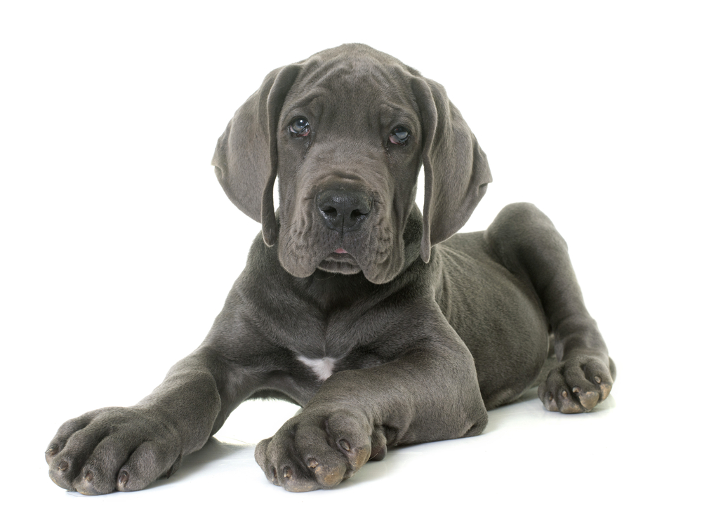 great dane puppy growing as expected