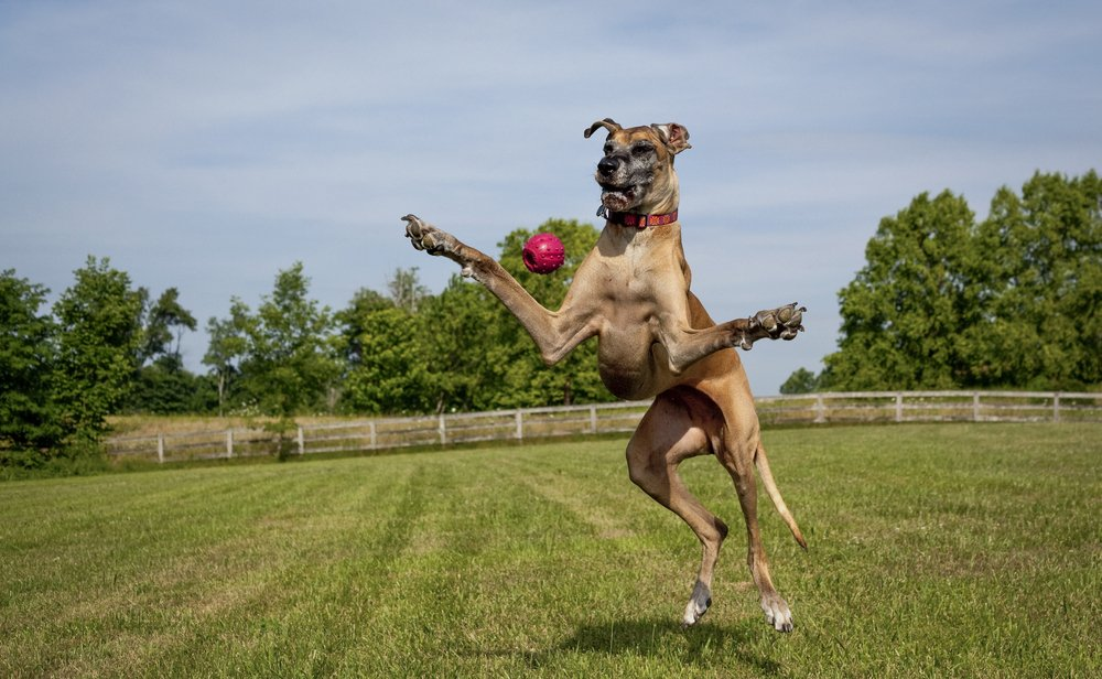 Are Great Danes Clumsy?