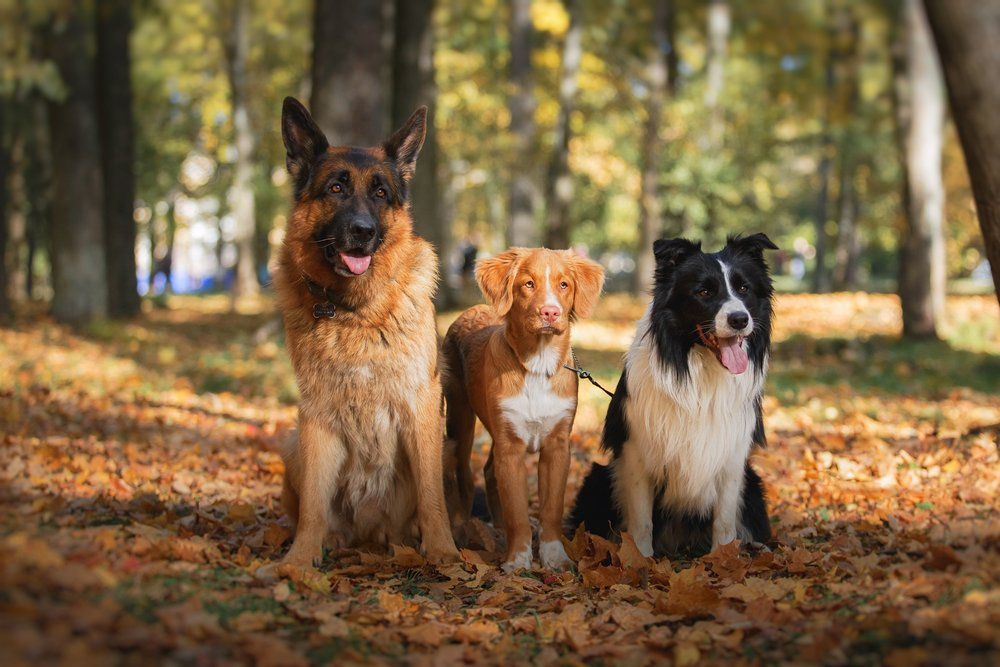 Best Companion Dogs for German Shepherds