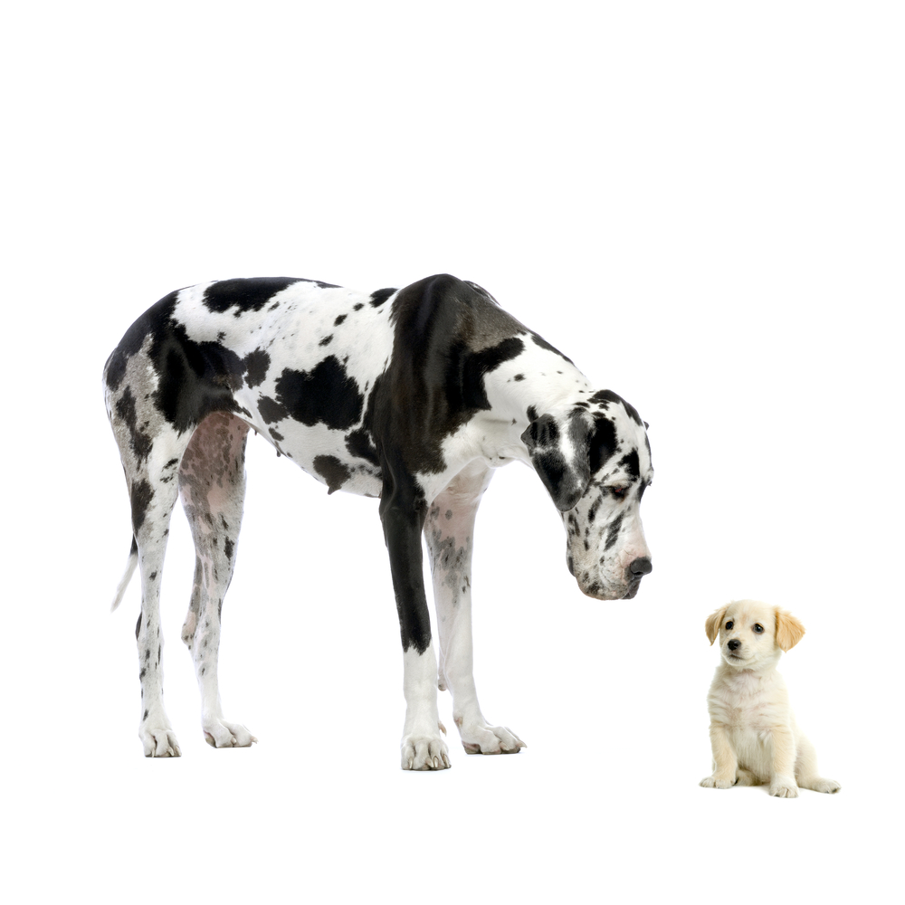 large great dane next to another dog