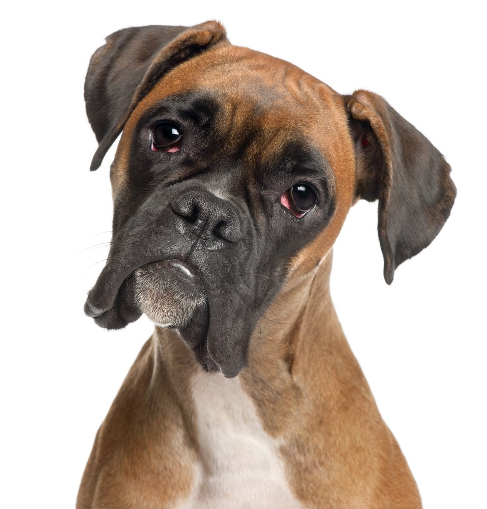 Why Are My Boxer's Eyes Red?