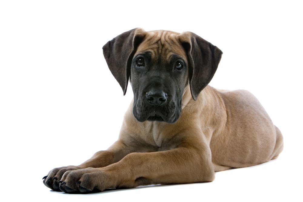 Why are Great Danes Banned In Some Places