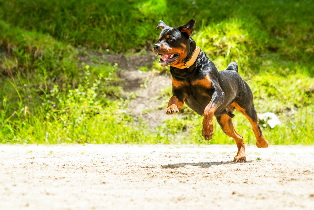 rottweiler getting their daily exercise