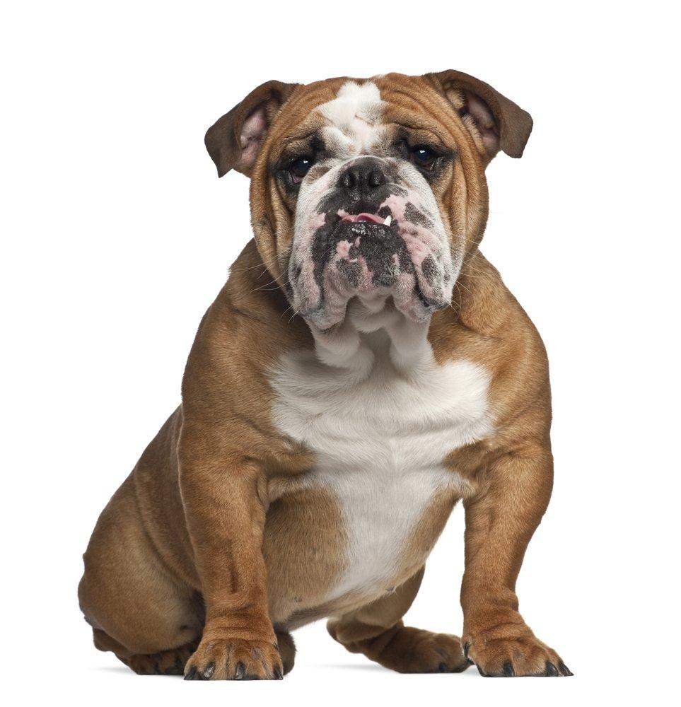 how to discipline a bulldog